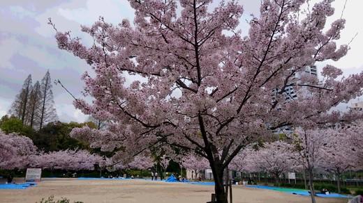 靭公園 桜�D.JPG