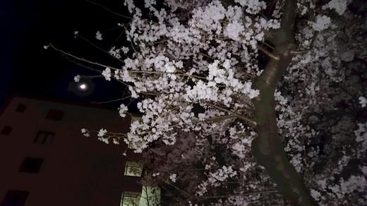 2017 桜.JPG