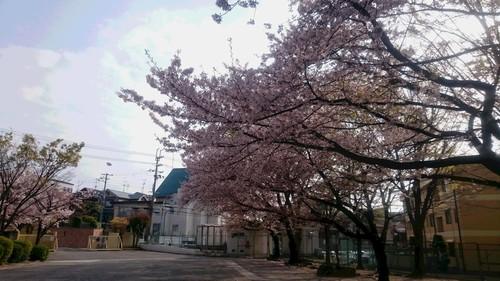 2018 桜 2.JPG