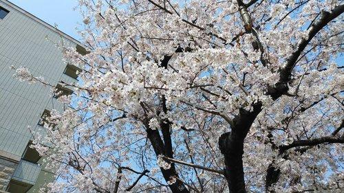 2019 桜 1.jpg