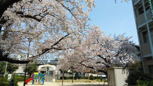 2019 桜 3.jpg