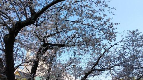 2019 桜.jpg